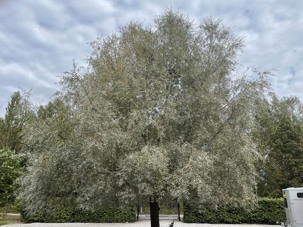 Bild för uppdrag: Arborera pilträd i Lund